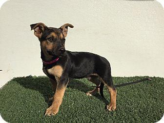 German Shepherd Dog/Corgi Mix Puppy for adoption in Studio City, California - Scooby