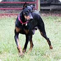 Adopt A Pet :: CLETUS - Greensboro, NC