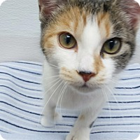 Calico Kitten for adoption in Kalamazoo, Michigan - Lady T