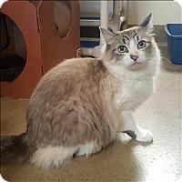 Ragdoll Cat for adoption in Riverside, California - Chloe