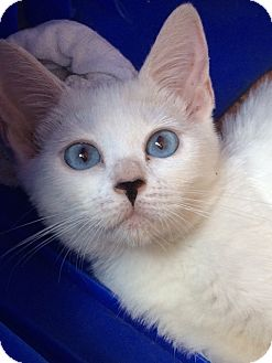 Domestic Shorthair Kitten for adoption in san diego, California - Booty