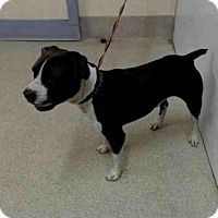 American Pit Bull Terrier Mix Dog for adoption in Tavares, Florida - BEETHOVEN