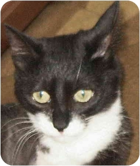 Domestic Shorthair Cat for adoption in Crescent City, California - Hiedi