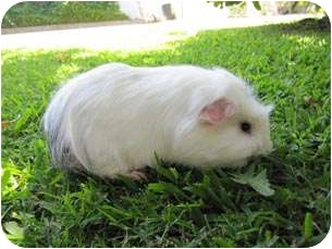 Guinea Pig for adoption in Fullerton, California - Dylan & Darfus