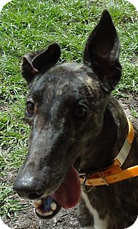 Greyhound Dog for adoption in Longwood, Florida - Hi Puff