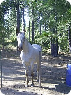 Appaloosa Mix for adoption in Elverta, California - Adopted Gunner