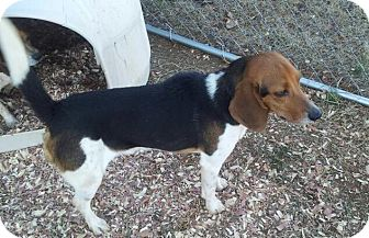 Beagle/Foxhound Mix Dog for adoption in Indian Trail, North Carolina - Jake