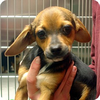 Beagle Mix Puppy for adoption in baltimore, Maryland - Bert