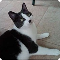 Domestic Shorthair Cat for adoption in Saint Clair Shores, Michigan - Groucho