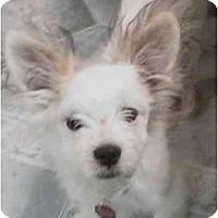 Adopt A Pet :: Pappi - Dayton, OH