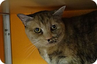 Domestic Shorthair Cat for adoption in Elyria, Ohio - Honey