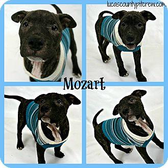 American Pit Bull Terrier/Mastiff Mix Dog for adoption in Toledo, Ohio - Mozart