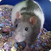 Adopt A Pet :: ZARA - Philadelphia, PA