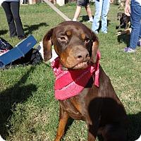Doberman Pinscher Mix Dog for adoption in McAllen, Texas - Clyde