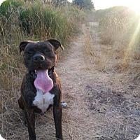 Adopt A Pet :: Remington - Woodinville, WA