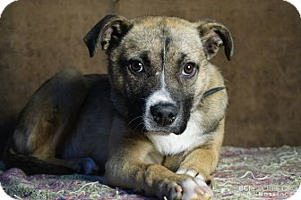 Shepherd (Unknown Type) Mix Dog for adoption in Cliffside Park, New Jersey - APRIL