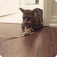 Adopt A Pet :: Meow Meow - Toronto, ON