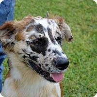 Adopt A Pet :: Moshie - Granbury, TX
