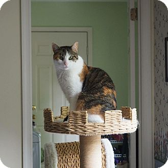 Calico Cat for adoption in Bryn Mawr, Pennsylvania - Callie/affectionate, funny