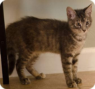 Domestic Shorthair Kitten for adoption in Seneca, South Carolina - Derek $75