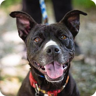 Pit Bull Terrier Mix Dog for adoption in Lovingston, Virginia - Minnie