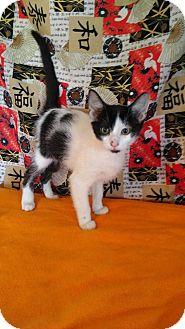 American Shorthair Kitten for adoption in Glenpool, Oklahoma - Charmander