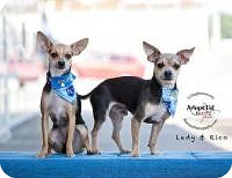 Chihuahua Dog for adoption in Shawnee Mission, Kansas - Rico