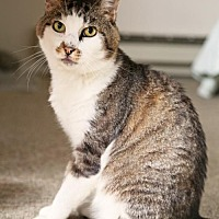 Domestic Shorthair Cat for adoption in Oakland, California - Trevor