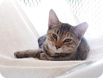 Domestic Shorthair Kitten for adoption in Orlando, Florida - Ginger