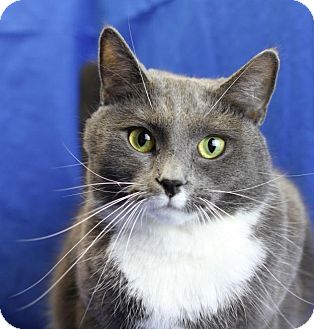 Domestic Shorthair Cat for adoption in Winston-Salem, North Carolina - Kylie