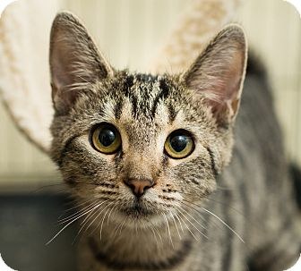 Domestic Shorthair Kitten for adoption in Los Angeles, California - Yogi