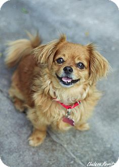 Tibetan Spaniel/Chihuahua Mix Dog for adoption in Los Angeles, California - Chance