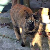 Adopt A Pet :: Tortillini - Spring Lake, NJ