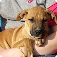 Great Dane/Shepherd (Unknown Type) Mix Puppy for adoption in Niagara Falls, New York - Thena (14 lb ) Pretty Pup!