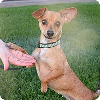 Chihuahua Mix Dog for adoption in Phoenix, Arizona - NINA