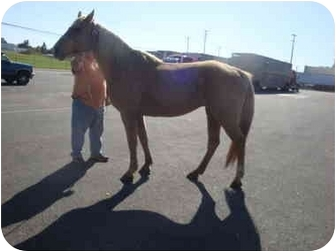 Tennessee Walking Horse Mix for adoption in Mystic, Connecticut - Savannah
