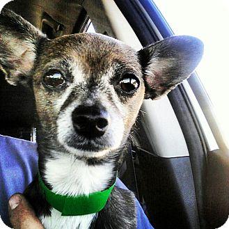 Chihuahua Mix Dog for adoption in Scottsdale, Arizona - Cholia
