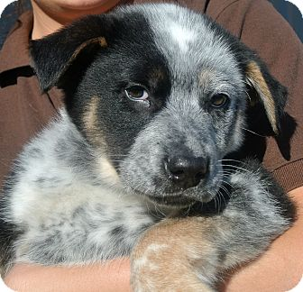 Cattle Dog Mix Puppy for adoption in white settlment, Texas - Jackson
