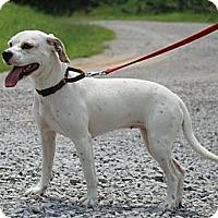 Adopt A Pet :: Miss Daisy ($325 reduced) - Brattleboro, VT