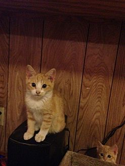 Domestic Shorthair Kitten for adoption in Baton Rouge, Louisiana - Dakota