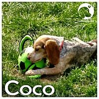 Adopt A Pet :: Coco - Chicago, IL
