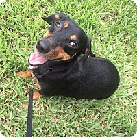 Adopt A Pet :: Stretch - Pinellas Park, FL