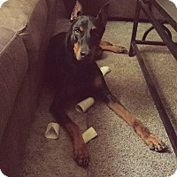 Adopt A Pet :: Harley Jean - killeen, TX