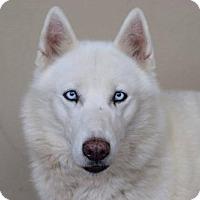 Adopt A Pet :: Athena - McKinney, TX
