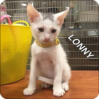 Domestic Shorthair Cat for adoption in Orlando, Florida - LONNY