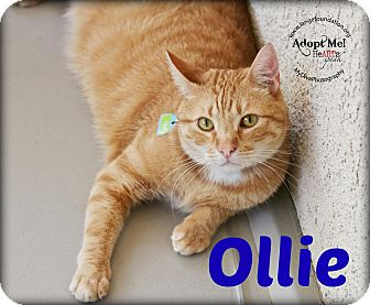 Domestic Shorthair Cat for adoption in Canyon Country, California - Ollie