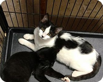 Domestic Shorthair Cat for adoption in Paradise, California - Alley