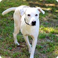 Labrador Retriever Mix Dog for adoption in Washington, D.C. - JONAH