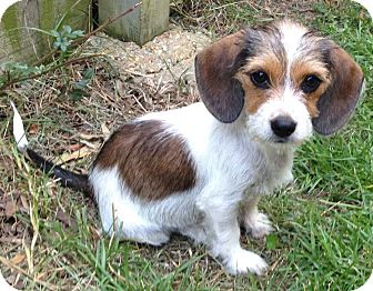 Beagle/Terrier (Unknown Type, Small) Mix Puppy for adoption in E. Greenwhich, Rhode Island - Keely (Daisy)