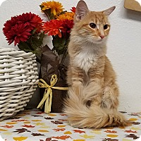 Domestic Longhair Cat for adoption in Phoenix, Arizona - CHLOE